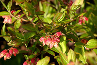 Reddish blueberry blossoms. Never noticed those before.